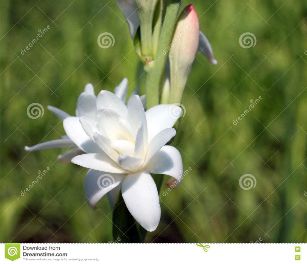 close-up-tuberose-flower-beautiful-bloomed-summer-75305713